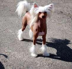 Mosaic Playboy Little Dog Of Dream