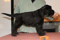 Knírač velký černý, Giant schnauzer black