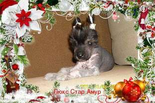 Lux Star Amur