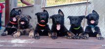 Puppies 7 weeks - Knox x Devil