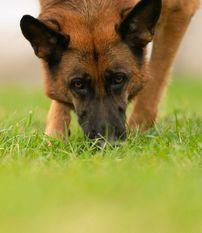 Faerhund Yalla