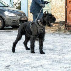 Anubis Rafanes – working-dog