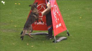 Wiggo of Sports dog