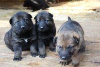 Puppies... 3 weeks Gero / Vexa
