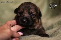 I3 litter (Karo x Rhonda) 2 weeks old
