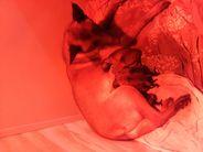 Pups zijn geboren uit de combinatie Zuart von Kaftan x Gaelin van Keyana