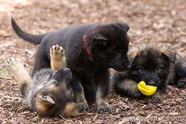 Welpenshooting mit Jan Redder pics4dogs Fotografie