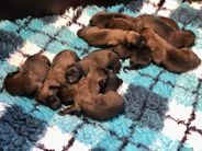 Pups Pari & Ramsack 1 dag oud