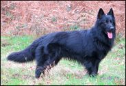 Iwolf des loups de varnagile
