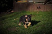 D-Wurf, 6 Wochen alt