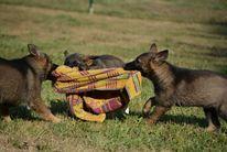Štěňata na prodej (puppies for sale) - www.aj-pe.estranky.cz