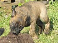 Litter C -5,5 weeks Dutch Shepherd