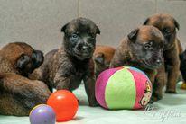 Pups Pari & Ramsack 3 weken oud