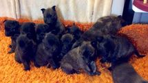Arlette de Alphaville Bohemia and her 4 weeks old puppies