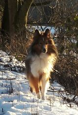 Mexx from the Crazy Shelties