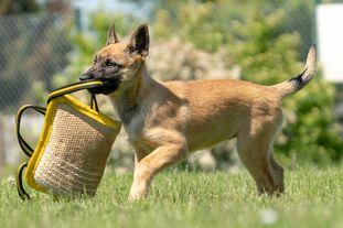 working-dog Magnum