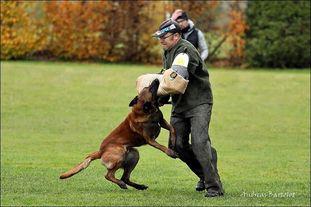 working-dog Fighter