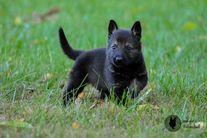Pepper von Kap Karthago & Lenka van den Balkendreef puppies