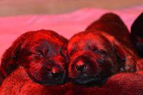 R Wurf 2 Wochen alt! Hailey von der Teufelskehle & Pike del Lupo Nero