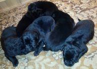 Puppies IKE vom Teufelshang x CHIRA Dragon Slovakia 8 days