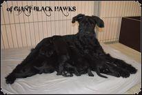 of Giant Black Hawks A-Wurf