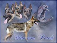 Blue von Peroh