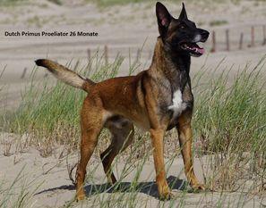 Dutch Primus Proeliator