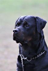 Jasper vom Schwarzen Milan