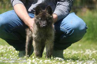 Brindle Wolf Stark