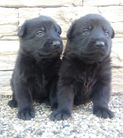 Puppies ,,J'' litter 3 weeks ( Irck dela Hutte du Berger X Devil Dragon Slovakia