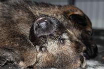 puppies 3,5 weeks old