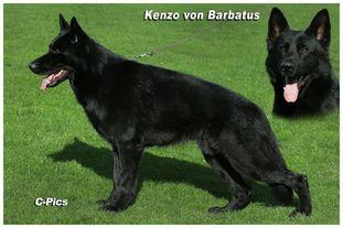 Kenzo vom Barbatus