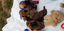 Puppy 16 days