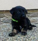 Puppies 5 weeks - Knox + Devil