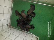 Pups Moor van de Lemahof