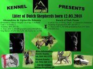 Dutch Shepherd 7 weeks - litter C