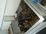 Ayk en Abby pups