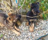 Puppies females available