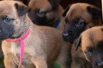 Puppies from Elly vom Clan der Wölfe