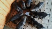 Štěňata stáří 23 (Puppies 23 days old.)