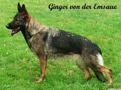Ginger von der Emsaue