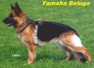 Yamaha von Beluga