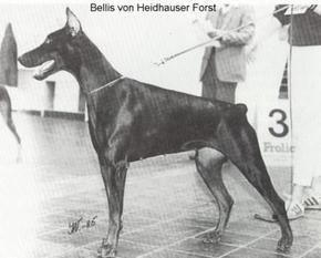 Bellis vom Heidhauser Forst