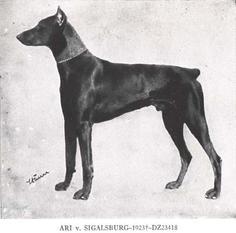 Ari von Sigalsburg