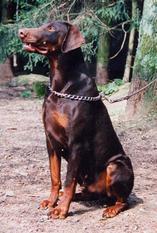 Goliath von der Krillenburg