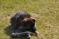 M-Wurf Rommie-Dusty 6 Wochen alt