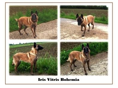 Iris Vitris Bohemia