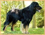 Attila ex Canis Lupus