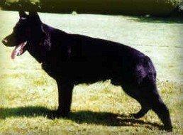 Ajax von der schwarzen Nister