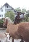 Erbse von den Haflingern